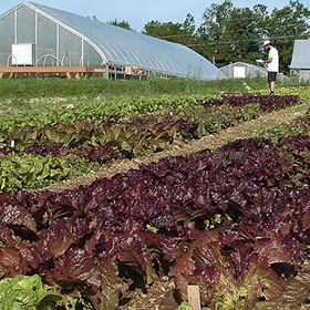 How to Grow Pelleted Lettuce