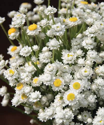 Ammobium, also known as winged everlasting, at an appropriate stage for cutting.