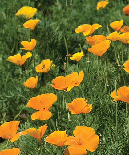 California poppy, with fern-like foliage and lively orange and yellow flowers, is easy-going and drought-tolerant.