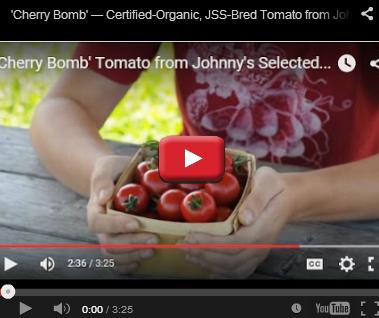 Organic Cherry Bomb Tomato