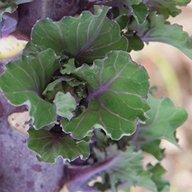 How to Grow Kalettes