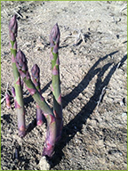 Early spring asparagus
