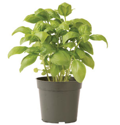 Container-grown Elidia Basil Plant