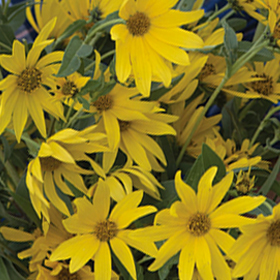 How to Grow Perennial Sunflowers