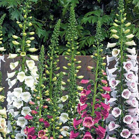 How to Grow Digitalis (Foxglove)