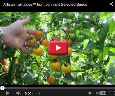 Artisan Tomatoes