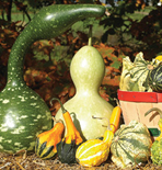 Ornamental Gourds