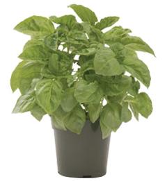 Container-grown Nufar Basil Plant