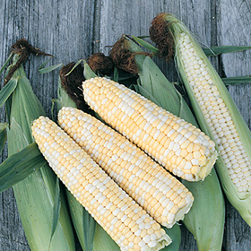 How to Grow Old-Fashioned Sweet Corn