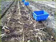 Harvesting Spring Parsnips