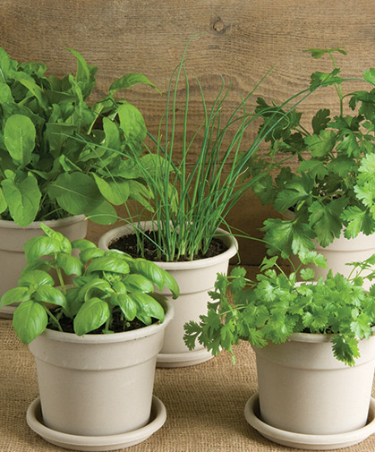 A collection of healthy herb plants, convenient and easy to grow from Johnny's Herb Disks.