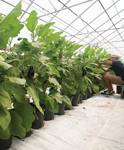 Greenhouse eggplants, grown in containers and trellised in our greenhouse trials.