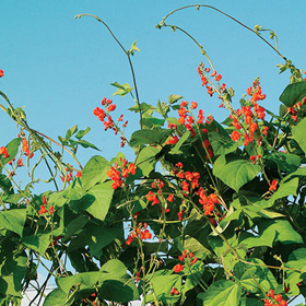 How to Grow Scarlet Runner Bean