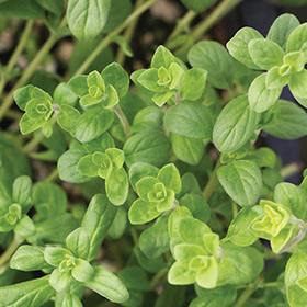 How to Grow Sweet Marjoram from Plugs