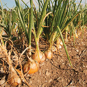 How to Grow Pelleted Onions