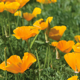How to Grow California Poppies