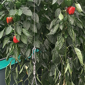 How to Grow Greenhouse Peppers