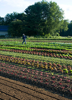 Field of succession-planted head lettuce