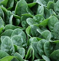 Seaside Spinach Seeds