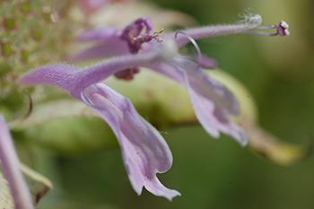 Wild bergamot serves as a bee forage plant.