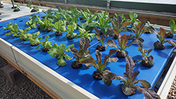 Aquaponic crops are grown year-round at Lethbridge College in Alberta, Canada