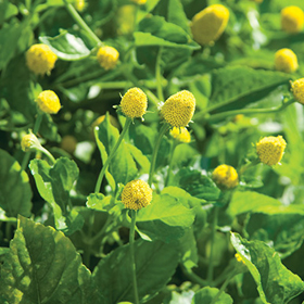 How to Grow Spilanthes