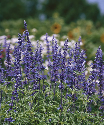 A bed of Salvia farinacea (mealycup sage), prized for its early, bright blue flowers borne on strong, thin stems.