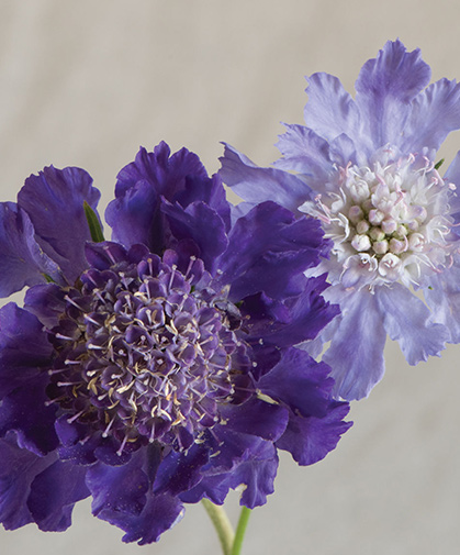 A pale-blue variety of Scabiosa caucasica, a clump-forming perennial flower native to the Caucasus mountains.