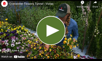 View Our Overwinter Flower Tunnel Viola (Pansies) Video