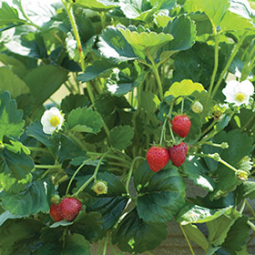 How to Grow Day-Neutral/Everbearing Strawberries
