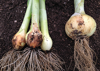 Onions from the shady side, laid alongside one that received full sun