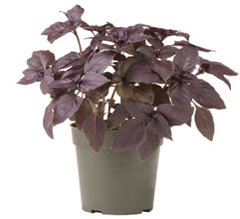 Container-grown Red Rubin Basil Plant