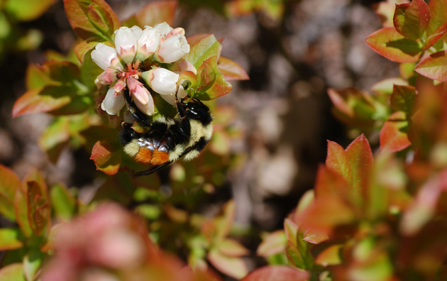 Orange-belted bumblebee pollinating Maine lowbush blueberry