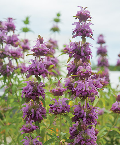 Monarda stalks, also known as bee balm, for their ability to attract a host of bee and other pollinating species.