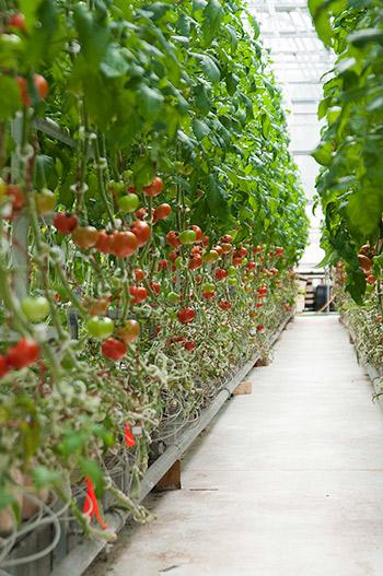 Hydroponic Tomato Crop