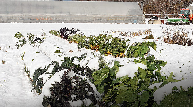 Winter Growing Intro - Brassicas in the Snow