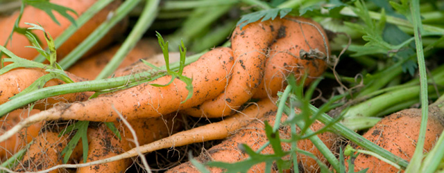 Common Carrot Pests & Diseases
