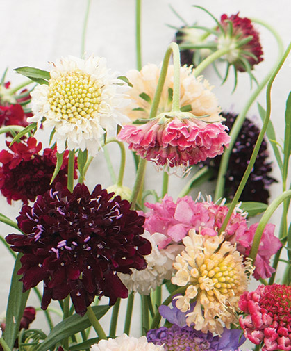 Scabiosa Pincushion Flower Information On Growing From Seed
