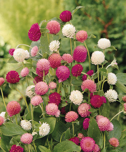 Gomphrena blooms, a useful cut-flower crop for dried flower arrangements, wreaths, and other crafts.
