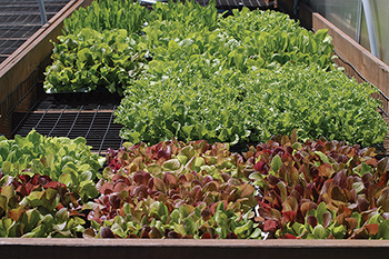 Varieties best for baby-leaf production have vigorous, uniform growth, thick leaf textures, and upright growth habit.