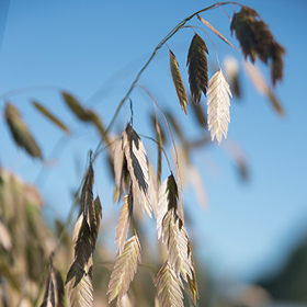 How to Grow Northern Sea Oats Ornamental Grass
