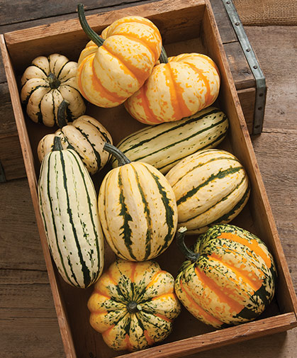 A box of delicata and sweet dumpling type winter squashes; this group should be eaten first, even directly following harvest.