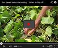 Sun Jewel Melon Harvest