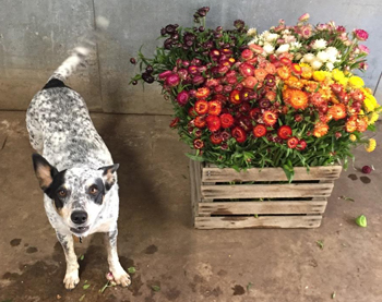 Remy and the everlastings - flowers that are good for drying can be used in myriad ways.
