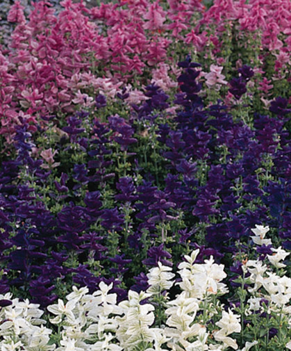 A bed of Salvia viridis, also known as annual clary sage, showing off its large, intensely colored bracts from summer through to autumn.