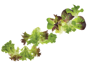 Lettuces are roughly classified by leaf shape, configuration, and how much of a head they form.