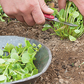 How to Grow Claytonia