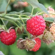 Encore Raspberry Plants