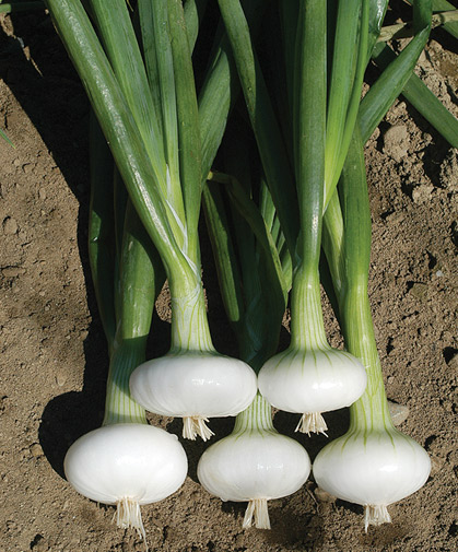 A freshly harvested bunch of cipollini onions of the classic Italian specialty type.