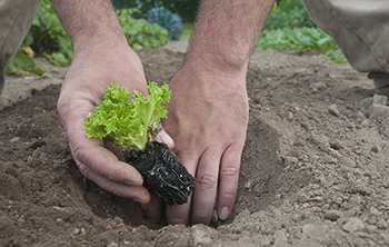 Start lettuce seedlings in flats 3–4 weeks before transplanting.